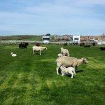 12 April Lambs